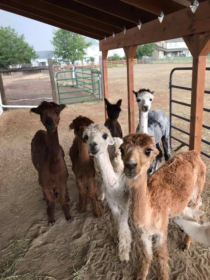 The stars of Shenanigans-Alpaca-Ranch will now be featured on their own website!